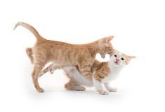 Twee het leuke katjes spelen Royalty-vrije Stock Afbeeldingen