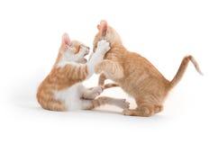 Twee het leuke katjes spelen Stock Afbeelding