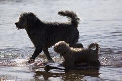 Twee het lopen honden Stock Afbeeldingen