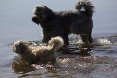 Twee het lopen honden Stock Afbeelding