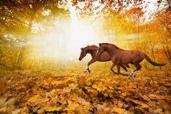 Twee het lopen paarden stock foto's