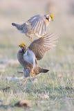 Twee het mannelijke kippen van de haanprairie vechten Stock Fotografie
