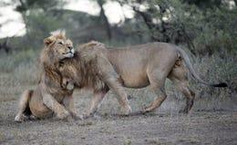 , twee het mannelijke leeuwen begroeten Stock Afbeelding