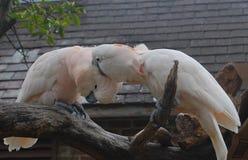 Twee het Moluccan Kaketoes knagen aan stock fotografie