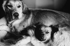 Twee het ontspannen puppy Stock Fotografie