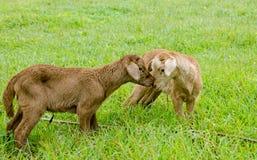 Twee het pasgeboren lammeren kussen Stock Fotografie