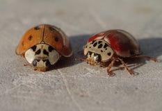 Twee het rode onzelieveheersbeestjes wachten Royalty-vrije Stock Foto's