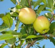 Twee het roodachtige appelen rijpen Stock Afbeeldingen
