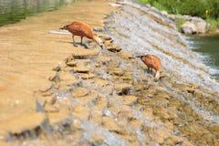 Twee het schoonmaken eenden op rivierwaterval stock afbeeldingen