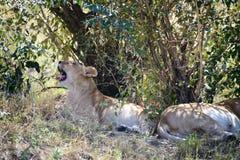 Twee het slapen leeuwen onder bomen stock foto