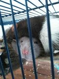 Twee het slapen ratten Stock Afbeeldingen