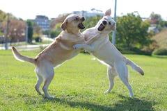 Twee het vechten honden op het gras Stock Afbeeldingen