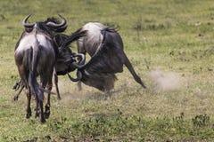 Twee het vechten Wildebeests ongeveer om hun hoofden tegen elk te breken Royalty-vrije Stock Foto