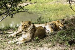 Twee het vrouwelijke leeuwen rusten royalty-vrije stock fotografie