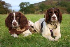 Twee het werk Engelse jachthonden van het aanzetsteenspaniel Stock Foto's