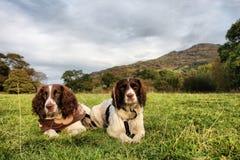 Twee het werk Engelse jachthonden van het aanzetsteenspaniel Stock Afbeeldingen