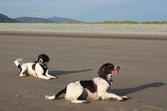 Twee het werk type de Engelse jachthonden van het aanzetsteenspaniel op een strand Stock Foto