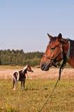 Twee het werkpaarden op de ketting Stock Fotografie