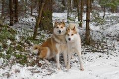 Twee het Westen Siberische Laikas Stock Afbeelding