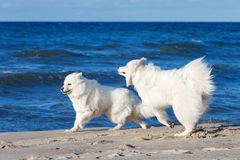 Twee het witte Samoyed hond spelen op het strand door het overzees Stock Afbeelding