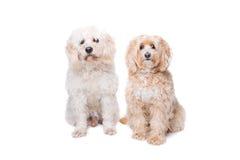 Twee het zitten honden Stock Fotografie