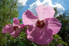 Twee Hibiscusbloemen in de Zon Royalty-vrije Stock Afbeelding