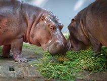 Twee Hippo Royalty-vrije Stock Fotografie