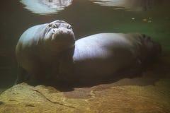 Twee Hippos Royalty-vrije Stock Foto