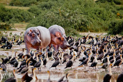 Twee hippostribune op de meerkust Royalty-vrije Stock Foto's