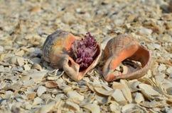 Twee holle zeeschelpen Stock Afbeeldingen