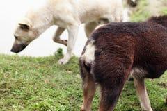 Twee honden Royalty-vrije Stock Afbeelding
