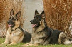 Twee honden Royalty-vrije Stock Fotografie