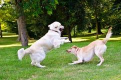 Twee Honden Stock Foto's