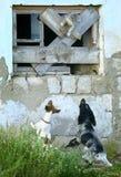 Twee honden achtervolgen een kat Stock Foto's