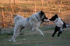 Twee honden bij spel Royalty-vrije Stock Afbeeldingen