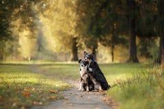 Twee honden border collie die op het voetpad zitten Royalty-vrije Stock Foto