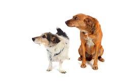 Twee honden in de studio Royalty-vrije Stock Foto