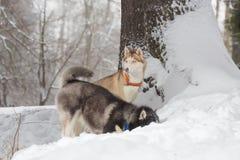 Twee honden die in de sneeuw kijken Huskies en schor Stock Afbeeldingen