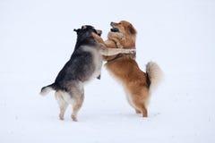 Twee honden die in de sneeuw spelen Royalty-vrije Stock Foto's