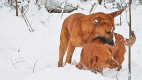 Twee honden die in de sneeuwwinter vechten het twee hondenspel bijt in werking gesteld elkaar en tuimelt de levensstijlconcept va stock videobeelden