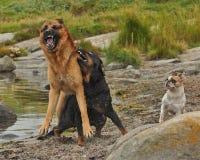 Twee honden die door drie 2 worden gehinderd royalty-vrije stock foto's