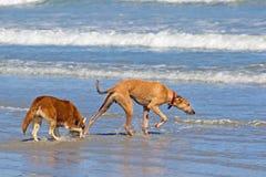 Twee honden die in golven spelen royalty-vrije stock afbeeldingen