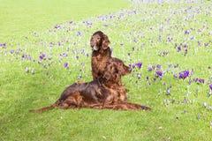 Twee honden die in het gras zitten Stock Afbeeldingen