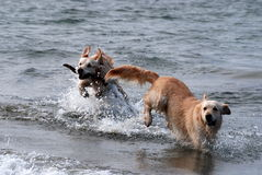 Twee honden die in het overzees spelen royalty-vrije stock foto
