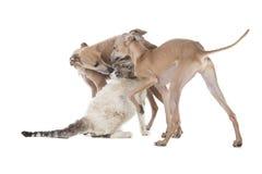 Twee honden die met een kat spelen Royalty-vrije Stock Foto