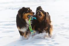 Twee honden die met een stuk speelgoed in de sneeuw spelen Royalty-vrije Stock Afbeelding