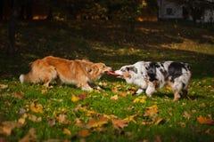 Twee honden die met een stuk speelgoed samen spelen Stock Afbeeldingen