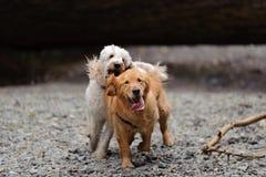 Twee honden die naar camera in werking worden gesteld Stock Afbeelding