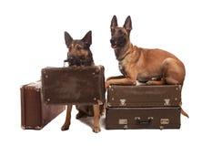 Twee honden die op achtergrond zitten Stock Fotografie