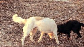 Twee honden die op het strand bij zonsondergang spelen stock video